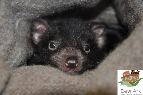 Tasmanian devil joey at Devil Ark