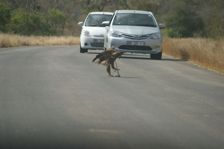 A Tawny Eagle busy with lunch.