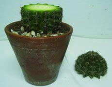 Propagar cactus