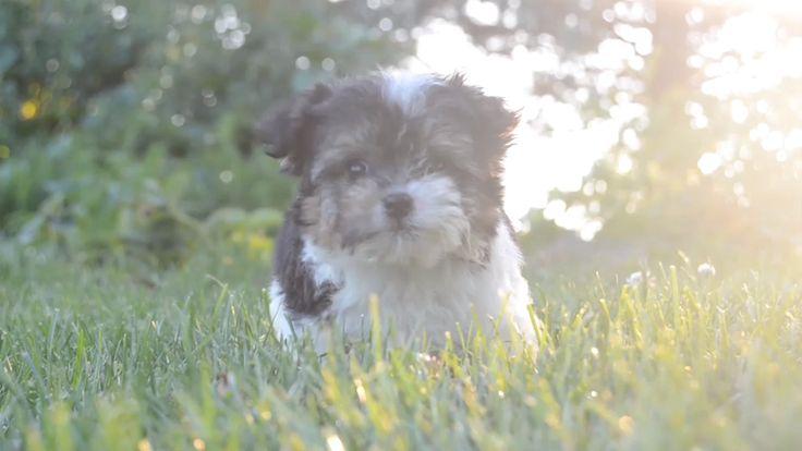 Tibetan terrier puppies for sale canada