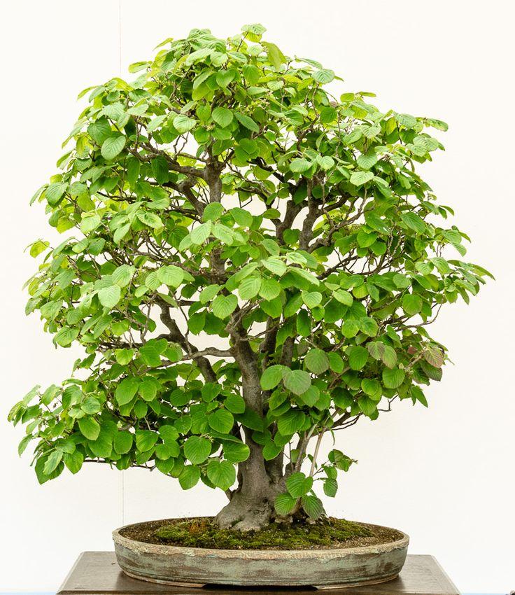 204 best images about bonsai b ume on pinterest bonsai plants and bonsai trees. Black Bedroom Furniture Sets. Home Design Ideas