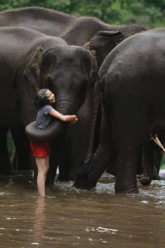These are Indian elephants. The ears are much smaller than African elephants. Such a sweet show of affection.                                                                                                                                                      Mais
