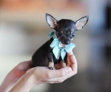 http://e-dogsite.com | cute pocket #teacup #chihuahua puppy