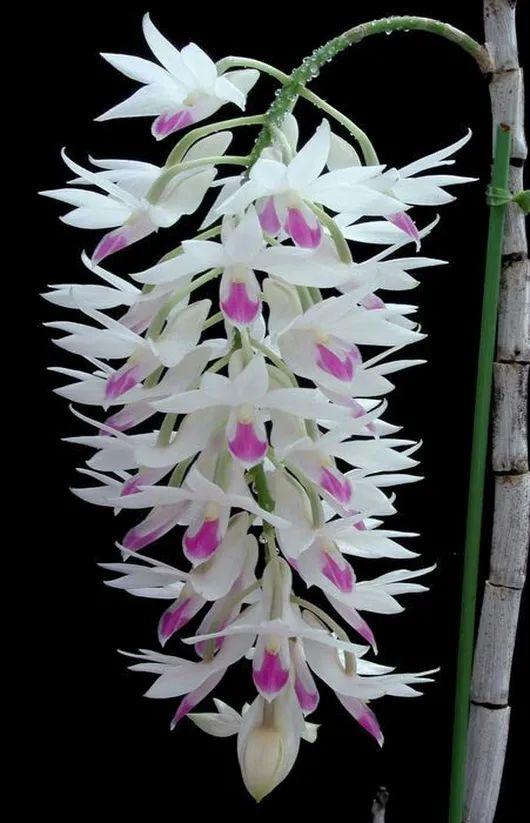Dendrobium amethystoglossom