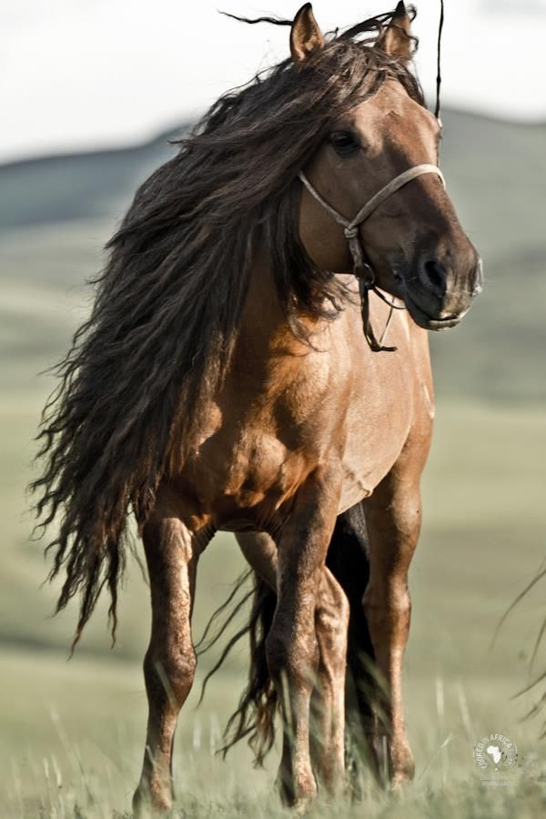 Most of us have never experienced horses like this: they are semi wild and live in big herds. Small and tough, most of the horses we rode were geldings whose manes and tails are cut to make rope. But a stallion's mane is never cut....hence the dramatic hairdos!