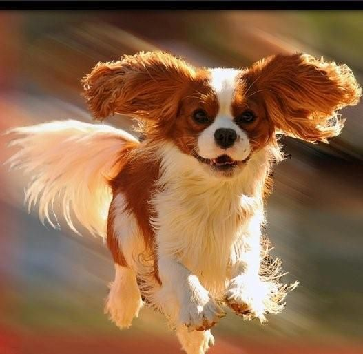 Absolutely breathtaking - Cavalier King Charles Spaniel! See how they smile! Da day data peachy pup to the rescue!