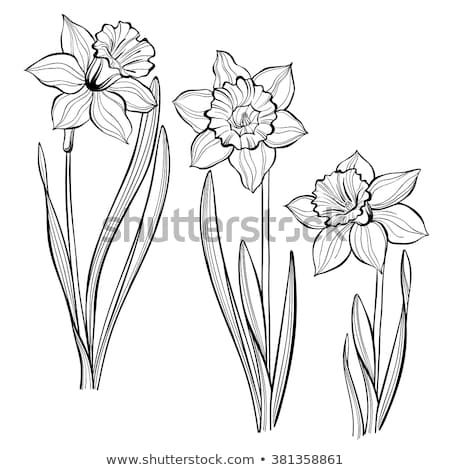 2987806f0 Set of spring flowers daffodils isolated on white background. Hand drawn  vector illustration, sketch. Elements for design.
