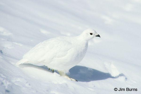 Ptarmigans | female White-tailed Ptarmigan winter plumage