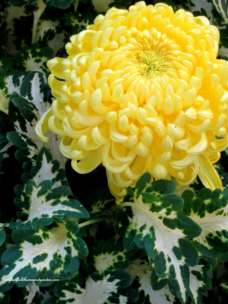 variegated coleus and yellow mum http://ourfairfieldhomeandgarden.com/field-trip-chrysanthemum-festival-at-longwood-gardens/