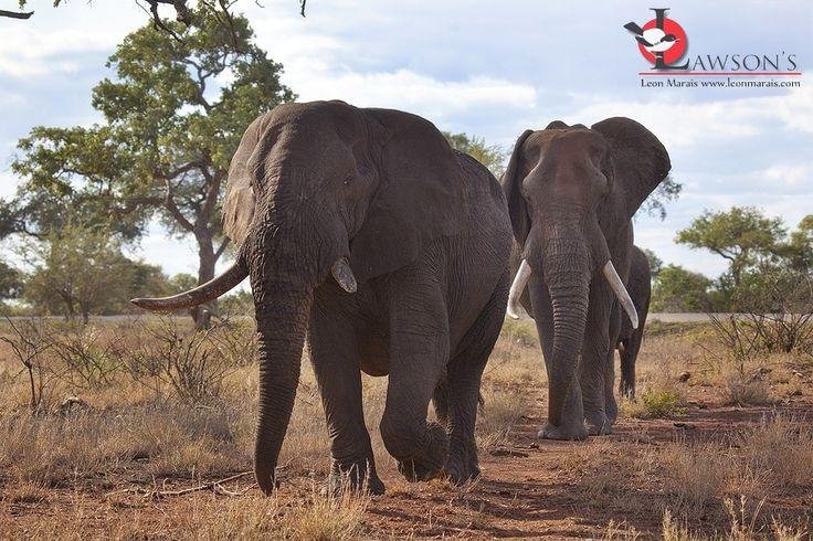 The Old Guard: Elephant bulls near Satara, #Kruger #safari #wildlife