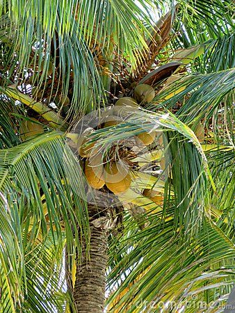 A green palm with his fruits, coconuts!