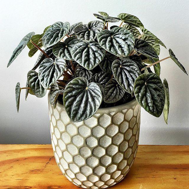 Les 58 meilleures images du tableau peperomia sur pinterest plantes d 39 int rieur jardinage et - Plantes d int u00e9rieur faciles d entretien ...