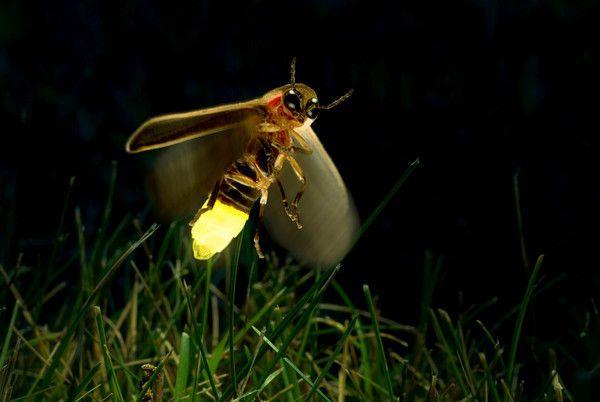 Todo el mundo sabe por qué las luciérnagas se llaman así, pero pocos conocen cómo produce este insecto su brillo característico.   Las luciérnagas tienen órganos lumínicos especiales situados bajo el abdomen. Cuando absorben oxígeno, éste se combina dentro de las células especiales con una sustancia llamada luciferina y reacciona produciendo luz sin apenas generar calor.