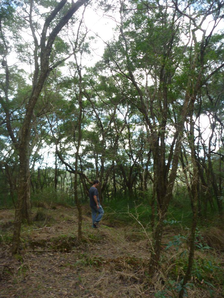Lemon Tea Tree forest (Leptospermum petersonii) 20 metres from Minyon Falls (30 kms west of Byron Bay)