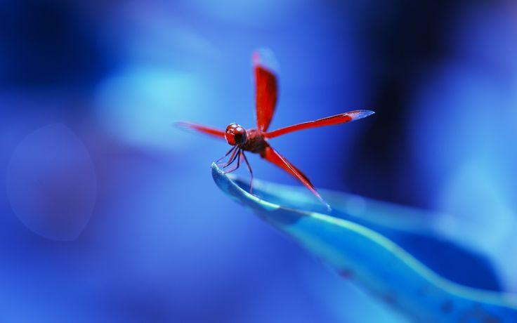 Скачать обои insect, nature, flower, dragonfly, blue, Anisoptera, leaf, red, vegetation, раздел макро в разрешении 1920x1200