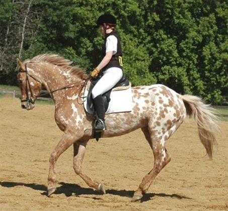 Ava Minted Design - She's a Friesian Appaloosa Mare.. with a rare coat..  DNA tested Black with Dun and she's also a Grulla!