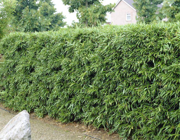 #Bambus #Garten #Hecken #Screen #Bambus #Hecken