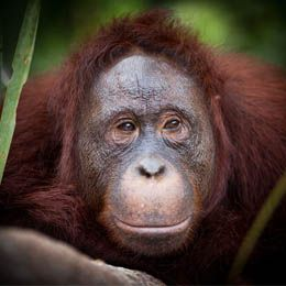 4D3N Orang Utan Explorer III – Klotok. Departure: Every day, valid until 31 March 2014. Price starting from USD 608 (minimun 2 person). You interested? Please contact Ezytravel at +6221 500833 or email to cs@ezytravel.co.id