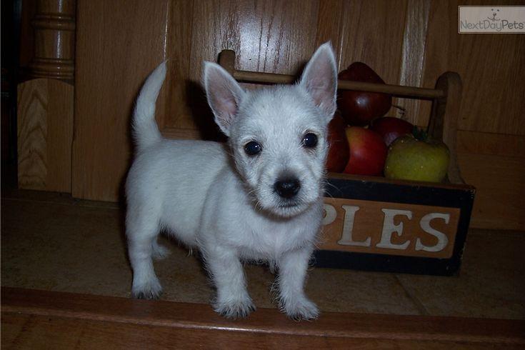 West Highland White Terrier - Westie puppy for sale near Springfield, Missouri | ed88f16c-0ed1