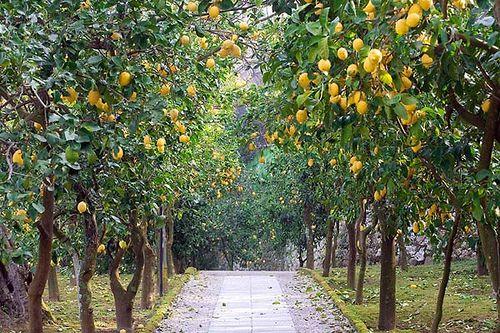 Hotel Villa Oriana Relais, Sorrento, Bay of Naples, Italy, Lemon Trees