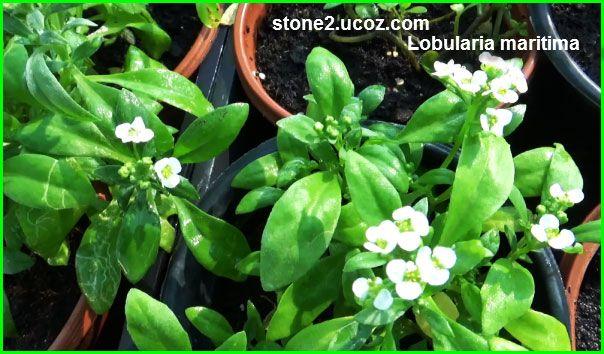 خرم الابرة البحري Lobularia Maritima نبات الزينة النبات معلومات نباتية وسمكية معلوماتية Plants