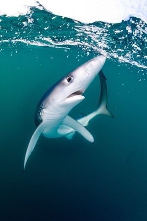 """Shocked Shark by Will Clark (UK)'This juvenile blue shark was the first to arrive at our boat after an hour of chumming."""""""