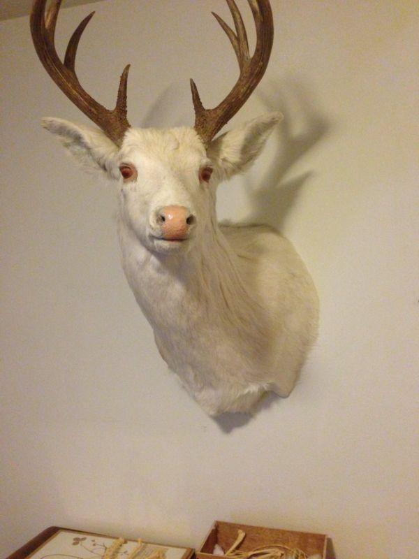 Albino Deer Head Taxidermy Stag Buck Vintage Estate Real Deer Wall Mount Unique   Albino deer