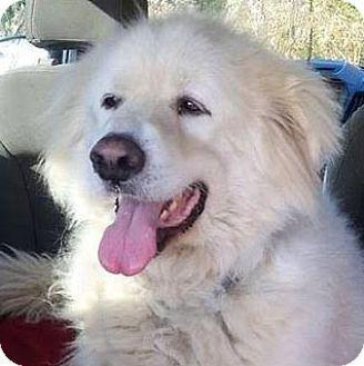 11/18/14 Unionville, PA - Great Pyrenees. Meet Dante, a dog for adoption. http://www.adoptapet.com/pet/11941082-unionville-pennsylvania-great-pyrenees