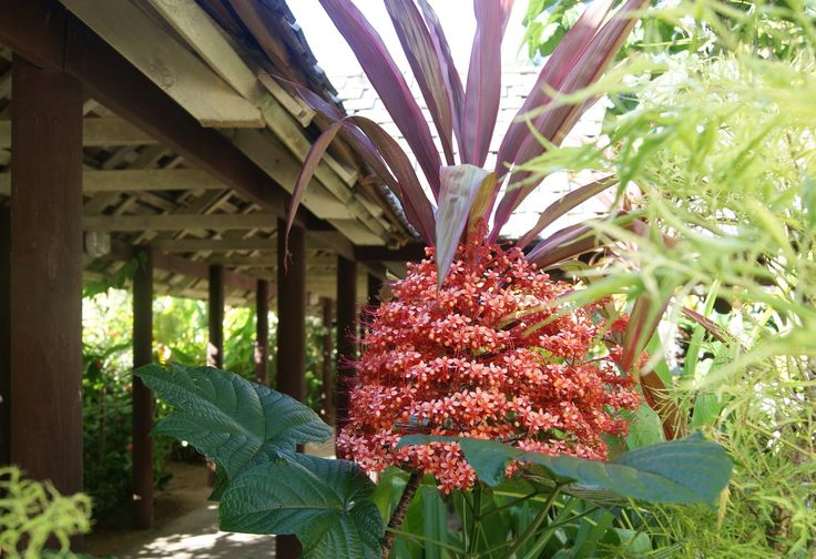 #Travel - Beautiful plant - unfortunately I don't know what it is called.  #Samoa. Photo: D Rudman