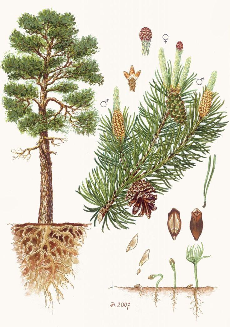 Borovice lesní - Tipy do lesa - Vojenské lesy a statky dětem