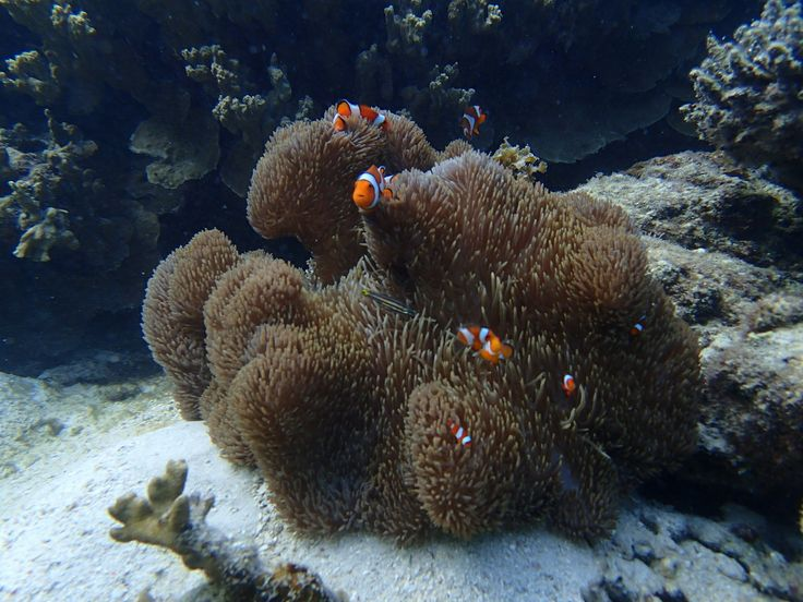 Finding Nemo is quite easy in Karimunjawa. At this moment (May 2014) there is really lots of them in Karimunjawa. Ayu Hotel  can organise snorkeling or diving trips by boat and will provide you with some inside information about the good spots to go.