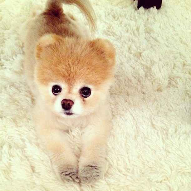 Best 25 Little Dogs Ideas On Pinterest Cute Puppies
