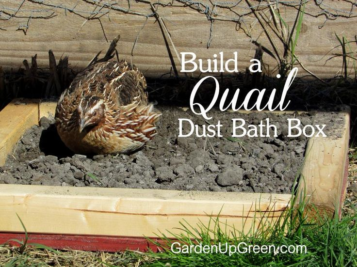Are your Coturnix quail flipping their feed crumble?  Build them a Dust bath box and the problem is solved.
