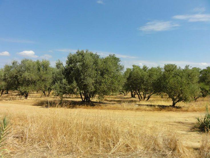 olijfbomen in het binnenland van Kreta