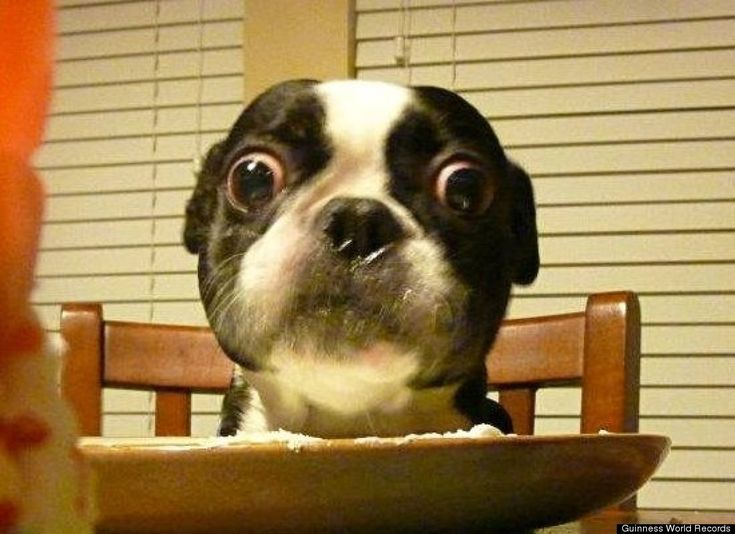 "Four-year-old black and white Boston Terrier, Bruschi, has just been given the Guinness World Record for ""dog with the largest eyes"" -- a whopping 1.1 inches in diameter."