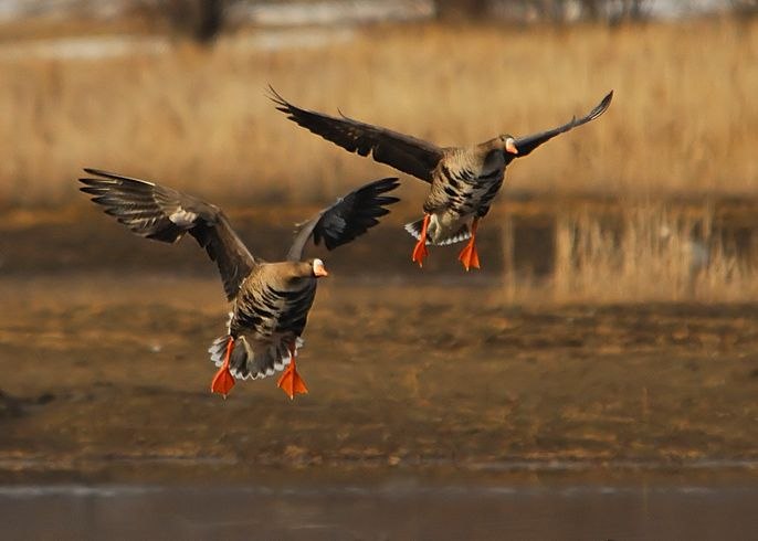 The midcontinent Specklebelly Goose breeds from the Alaska across the western and central Canadian Arctic.   http://www.showmesnowgeese.com/specklebelly-goose-calling-tips-and-tactics/
