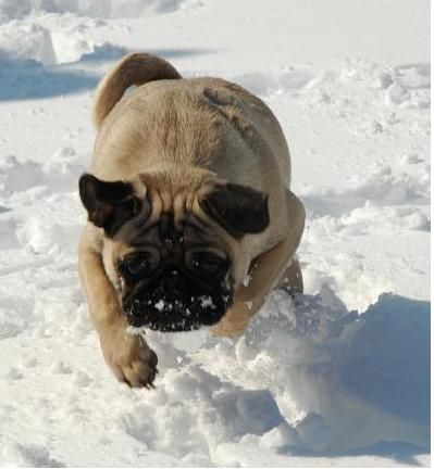 Pug on the hunt :: happy pug  this is the most manly Pug I have ever seen, and it is really running......
