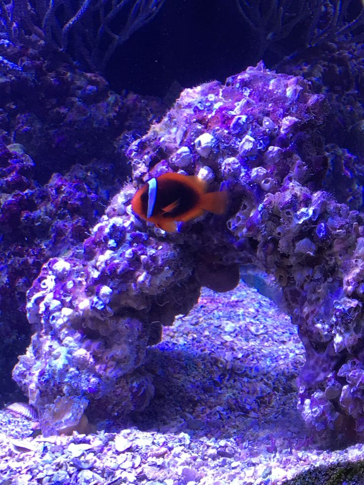 1000 images about fish damselfish and clownfish on for Live saltwater fish