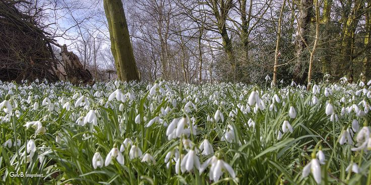 https://flic.kr/p/SEhSr7 | field of snowdrops | in de Heemtuin, Zaandam