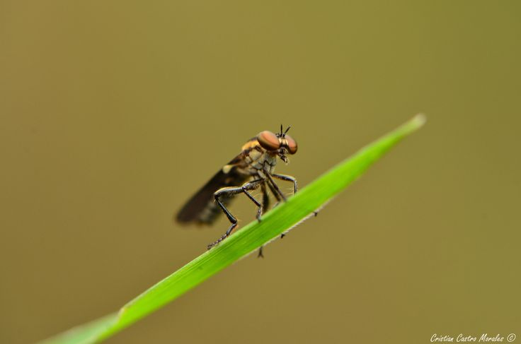 Orden Diptera by Cristian Castro Morales on 500px