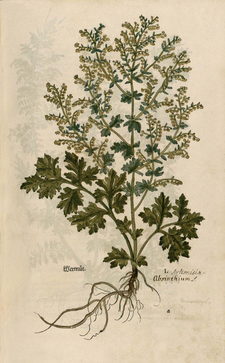 Wermut absinthium, artemisia, wormwood (1543) by Leonhart Fuchs. Source - Image 33 at Strasbourg via Wikimedia.