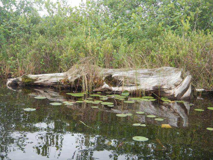 Tree Bones, Lake Torsey