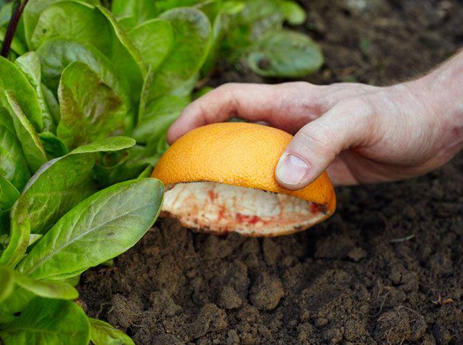 Entre les salades, posez des demi-pamplemousses évidés, la face creuse vers le sol. Les limaces...