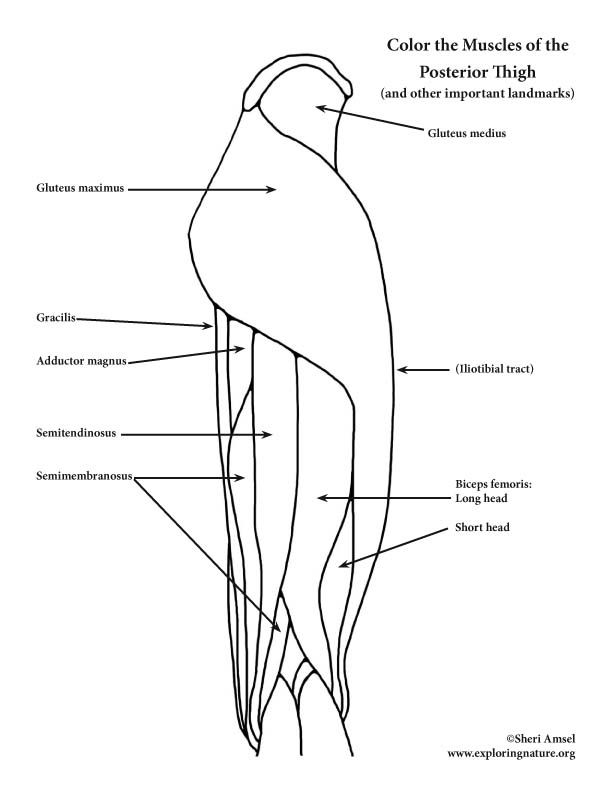 Leg Muscle Coloring Pages Anatomy Coloring Book Anatomy Human Body Anatomy
