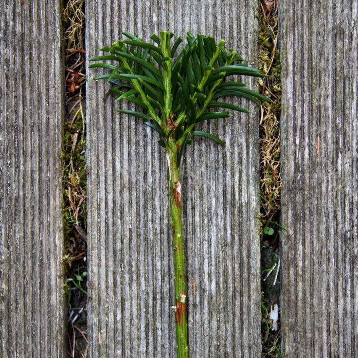 STIKLINGER AF TRÆER OG BUSKE - Propagating trees and shrubs