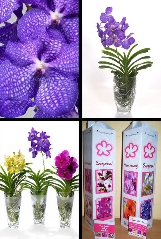 #vanda orchidee Blue Magic in Charlotte glasvaas. Blue Magic is een van de weinige   écht blauwe orchideeën op de wereld. Een heel bijzondere orchidee met haar karakteristieke luchtwortels. Leverbaar in vele opvallende kleuren. 100% verrassingszekerheid!