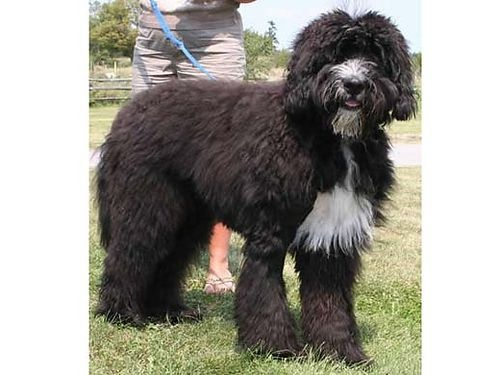 A St. Berdoodle -- this makes me happy!
