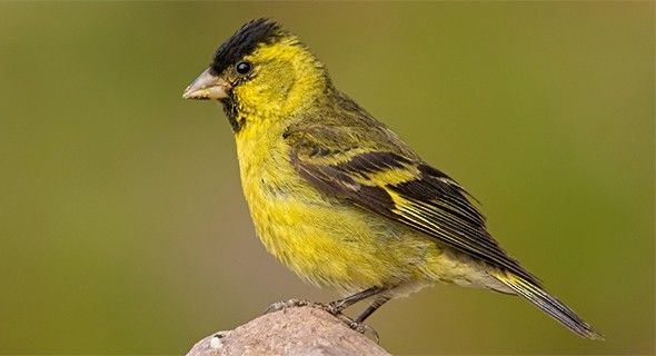 Black-chinned Siskin - Introduction | Neotropical Birds Online