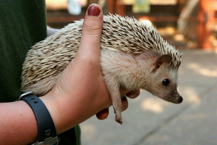 Holding a hedgehog - Information about what a hedgehog should eat is inside of this pin.