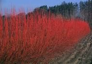 Red Twig Dogwood For Sale
